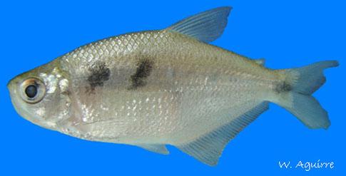 Freshwater fish of ecuador for Fishing in ecuador