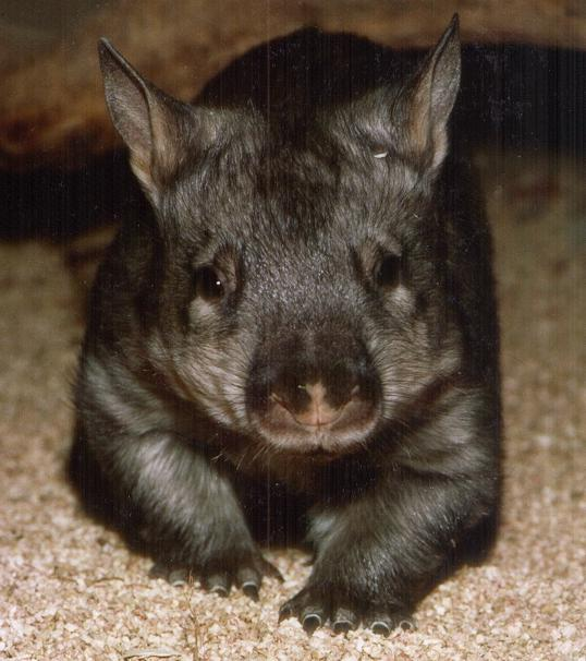 Photo A wombat with carrots