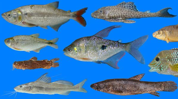 The freshwater fish fauna of western ecuador for Fishing in ecuador